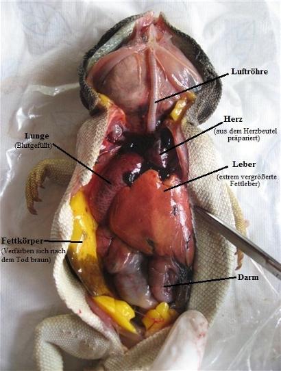 Anatomie (Organe) - Bartagamen